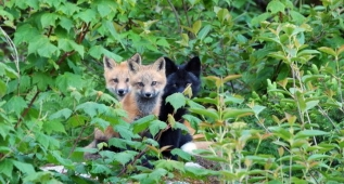 Fox Family, Humber Valley Resort