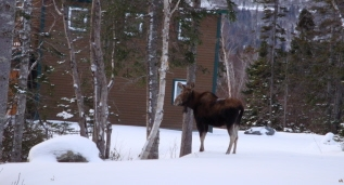 Moose, Humber Valley Resort