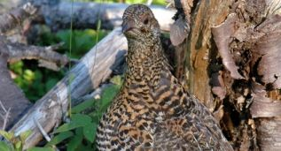Grouse, Bakers Brook Falls, Gros Morne,  Western Newfoundland