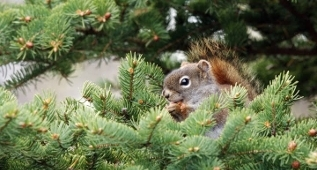 Squirrel, Humber Valley Resort