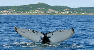 Whale, Witless Bay, Newfoundland