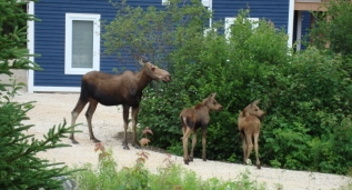 Moose Family, Humber Valley Resort