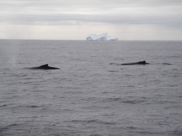 Whales and Iceberg, St Anthony, Western Newfoundland